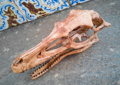 Teschio di Velociraptor mongoliensis